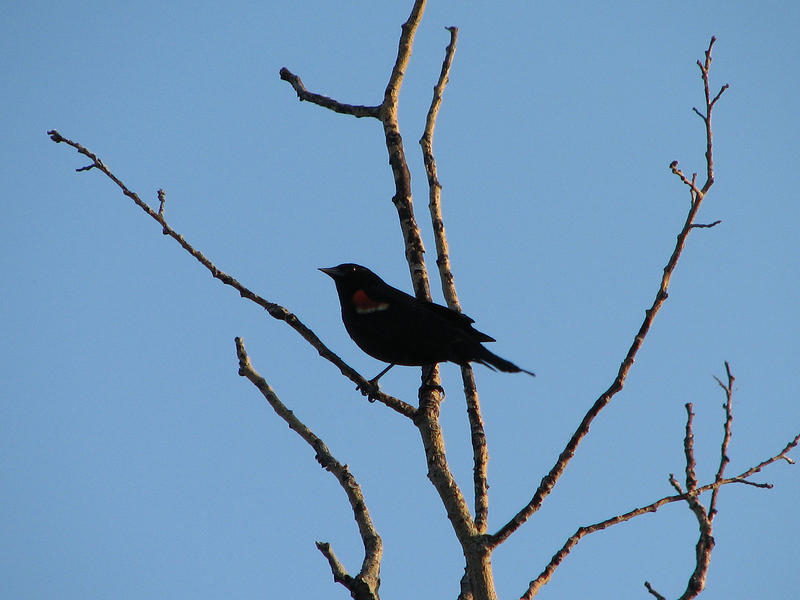 red winged blacky 2