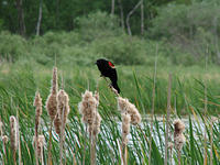 red winged blacky 5