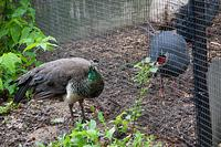 zoo 05 peahen and pheasant